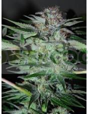 Northern Dwarf Auto (Profesional Seeds) SEmilla Feminizada Autofloreciente Cannabis