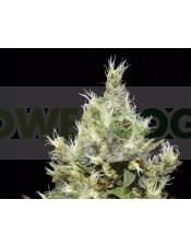 Northern  Semilla Feminizada (CBD Seeds)