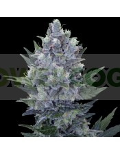 Northern Light Automatic (Royal Queen Seeds) Semilla Feminizada Marihuana Autofloreciente 100%