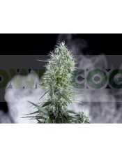 Og Lemon Bilbo Feminizada (Genehtik Seeds) semillas marihuana