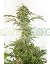 OG Kush Autoflowering CBD (Dinafem)-5 Semillas