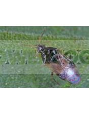 Orius Laevigatus (contra Trips) lucha biolócia predadores