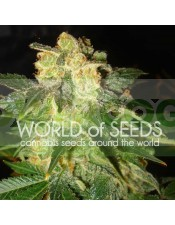 Pakistan Ryder Auto (World of Seeds)