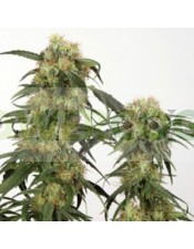 Pamir Gold (Dutch Passon Seeds) Semilla Feminizada Cannabis Indoor-Outdoor del Himalaya