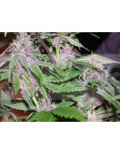 PCK Feminizada (ACE Seeds)