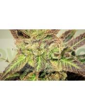 Pepiberry (Pepita Seeds) Semilla Feminizada Marihuana Barata