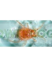 Phytoseiulus-Persimilis-Contra-Araña-Roja-Lucha-Biológica