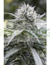 Pure Amnesia Feminizada (LaMota Seeds)