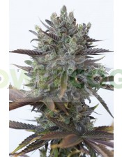 Purple Orange CBD (Dinafem Seeds) (Semillas)