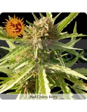 Red Cherry Berry (Barney´s Farm Seeds)
