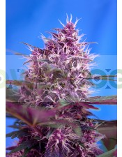 Red Poison Auto (The Red Family) Sweet Seeds