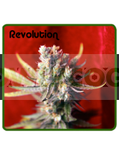 Revolution (Reggae Seeds) Regular