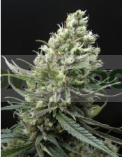 Ripper Haze (Ripper Seeds) Semilla Feminizada de Cannabis