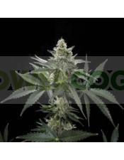 Semillas de Marihuana Roadrunner Autoflowering#2 Autofloreciente Feminizada de Dinafem