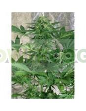 Royal Automatic es una planta de floración automática.