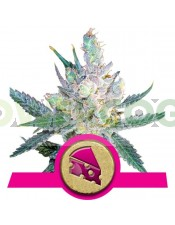 Royal Cheese (Royal Queen Seeds) Fast Flowering