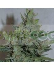 Royal Dwarf Autofloreciente (Royal Queen Seeds)