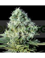 Santa Bilbo (Genehtik Seeds) Semilla Feminizada Cannabis