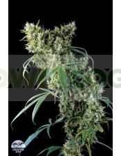 Semilla cannabis Super Silver (Dinafem Seeds)