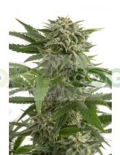 Semilla de Marihuana Bubba Kush Auto (Dinafem)