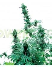 Semilla Feminizada Cannabis Early Skunk Feminizada (Sensi Seeds) Un híbrido excelente entre Skunk #1® y Early Pearl®.   Los cultivadores de exterior generalmente no están satisfechos con el tiempo de cosecha de la variedad de Skunk corriente.  La Early Sk