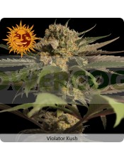 Semilla Feminizada Violator Kush (Barney´s Farm)