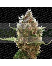 Semilla Lucid Bolt (Paradise Seeds) feminizada