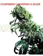 Semillas de Marihuana Northern Lights #5 x Haze Regular (Sensi Seeds) Este híbrido es el superlativo del cultivo de cannabis actual. El resultado: una planta de enorme potencia con un clímax extremo de Sativa.  En los Festivales de Cosecha de principios d