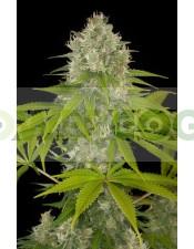 Semillas de marihuana Power Kush Feminizadas 100%
