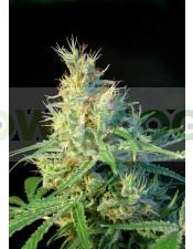 Psicodelicia Feminizada (Sweet Seeds)