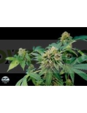 Shark Attack Feminizada (Dinafem Seeds)