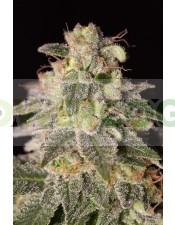SHARK SHOCK CBD (Dinafem) Semilla Feminizada de Cannabis