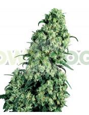 Semilla de marihuana Skunk #1 F