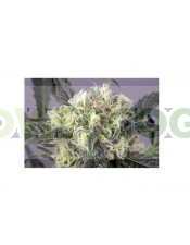 SnowBud (Dutch Passon Seeds) Semilla Feminizada Marihuana Cultivo Indoor-Outdoor