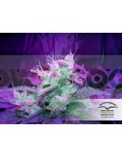 SnowStorm #2 (Dutch Passion) Semilla Autofloreciente de Marihuana