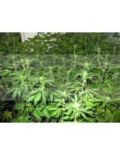 Sour Diesel (Medical Seeds) Feminizada