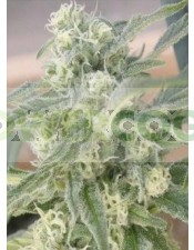 Special Queen #1 (Royal Queen Seeds)