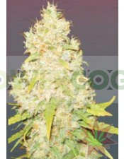 SUGAR BLACK ROSE REGULAR DELICIOUS SEEDS