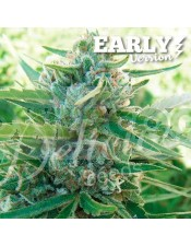Sugar Black Rose F1 Early Version (Delicious Seeds)