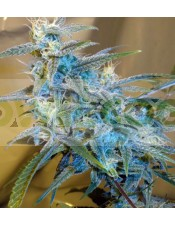 SugarLoaf Regular (Cannabiogen Seeds)