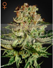 Super Bud (Greeen House Seeds) Semilla Cannabis Feminizada Barata