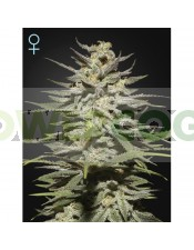Super Lemon Haze Feminizada Green House Seeds