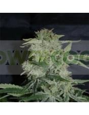 Super Hash (Pyramid Seeds) Semilla Marihuana Feminizada con mucha resina