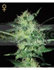 Super Critical (Greeen House Seeds) Semilla