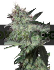 Super Diesel (SeedMakers)
