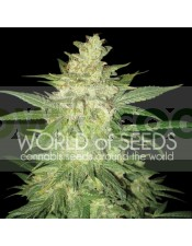 Sweet Coffee Ryder Auto (World of Seeds