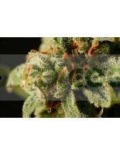 Sweet Deep Grapefruit (Dinafem) semilla feminizada marihuana