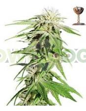 Sweet Tooth (Barney´s Farm Seeds)  Todas las semillas feminizadas de Barney´s Farm Seeds en nuestras tiendas Dr.Cogollo - Powercogollo.com tu growshop más barato online Ganadora de 3 Cannabis Cup. Famosa por su increible alto contenido en THC y gran rendi