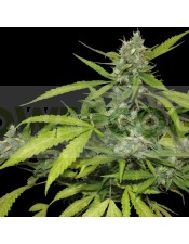 Sweet Tooth Autofloreciente (Barney´s Farm Seeds) Semilla