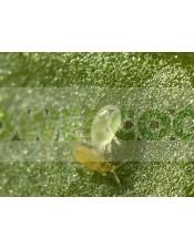 Swirskimite (contra Trips, Mosca Blanca y Araña Roja) Lucha Biológica contra las plagas